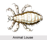 Animal Louse, Indian Species