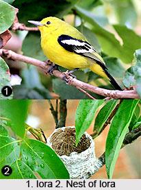 Iora, Indian Bird