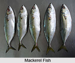 Mackerel, Indian Fish