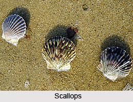 Scallops, Indian Marine Species