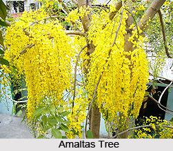 Amaltas, Indian Medicinal Plant