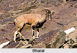 Bharal, Indian Animal