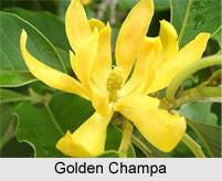 Golden Champa, Indian Plant