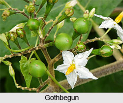 Gothbegun, Indian Medicinal Plant