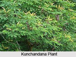 Kunchandana, Coral Wood, Indian Medicinal Plant