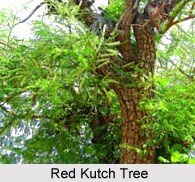 Red Kutch, Indian Medicinal Plant