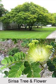 Sirisa, Indian Medicinal Plant