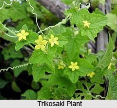 Trikosaki, Indian Medicinal Plant