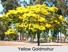 Yellow Goldmohur, Indian Medicinal Plant