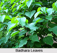 Badhara, Indian Medicinal Plant