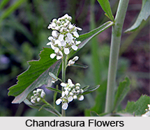 Chandrasura, Indian Medicinal Plant