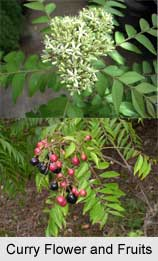 Curry Plant, Indian Medicinal Plant