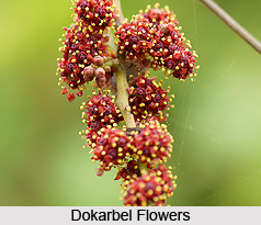 Dokarbel, Grape Vine, Indian Medicinal Plant