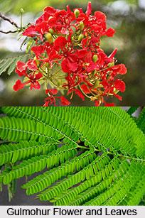 Gulmohur, Indian Medicinal Plant