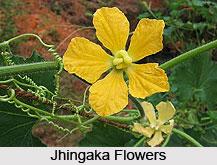 Jhingaka, Ribbed Gourd, Indian Medicinal Plant