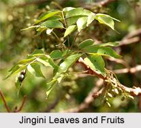 Jingini, Indian Medicinal Plant