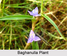 Baghanulla, Indian Medicinal Plant