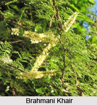 Brahmani Khair, Somasara, Indian Medicinal Plant