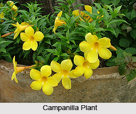 Campanilla, Indian Medicinal Plant