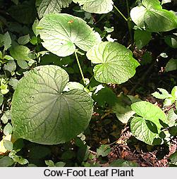 Cow-Foot Leaf Plant, Indian Medicinal Plant