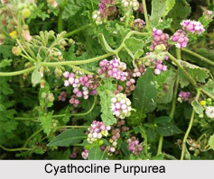 Cyathocline Purpurea, Indian Medicinal Plant