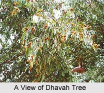 Dhavah, Indian Medicinal Plant