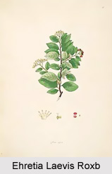 Ehretia Laevis Roxb, Indian Medicinal Plant