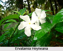 Ervatamia Heyneana, Indian Medicinal Plant