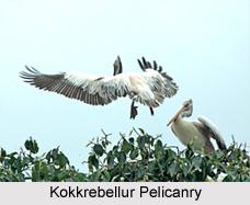 Kokkrebellur Pelicanry, Reserve Forest, Karnataka.