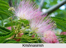 Krishnasirish, Indian Medicinal Plant