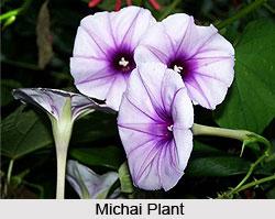 Michai, Indian Medicinal Plant