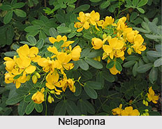 Nelaponna, Indian Medicinal Plant