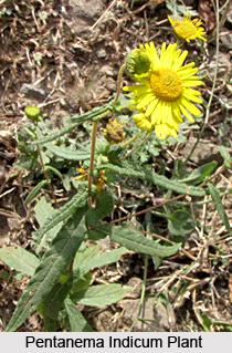 Pentanema Indicum, Indian Medicinal Plant
