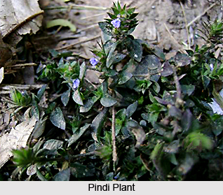 Pindi, Indian Medicinal Plant