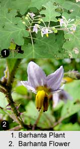 Poison Berry, Barhanta, Indian Medicinal Plant