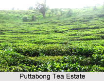 Puttabong Tea Estate, Darjeeling District, West Bengal