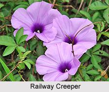 Railway Creeper, Indian Medicinal Plant