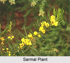 Sarmal, Indian Medicinal Plant
