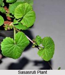 Sasasruti, Indian Medicinal Plant