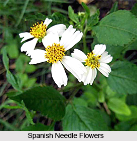 Spanish Needle, Indian Medicinal plant