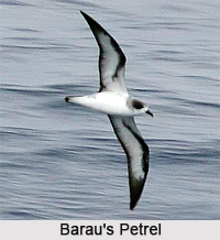 Barau's petrel, Indian Bird