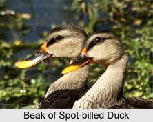Spot-Billed Duck, Indian Bird