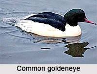 Common Golden Eye, Indian Bird