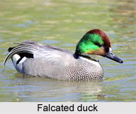 Falcated duck, Indian Bird