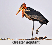 Greater adjutant, Indian Bird