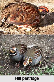 Hill partridge, Indian Bird