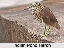 Indian Pond Heron, Indian Bird