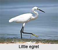 Little egret, Indian Bird