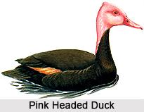 Pink-Headed Duck, Indian Bird