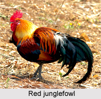 Red Jungle Fowl, Indian Bird